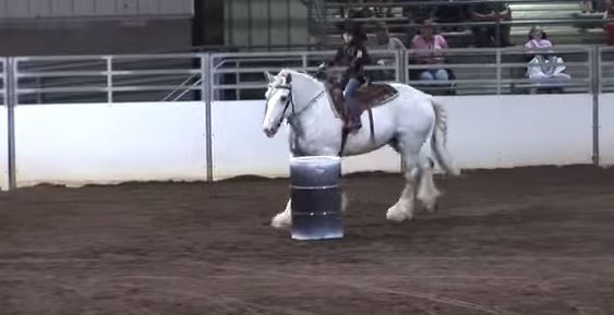 DraftHorseBarrelRacing