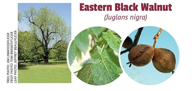 Fall_EasternBlackWalnut