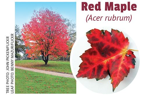 Fall_RedMaple