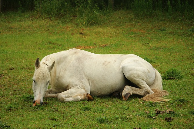 Why Do Horses Lay Down